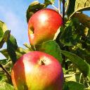 Mega Vital Shop: Apfel