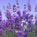 Mega Vital Shop: Lavendel