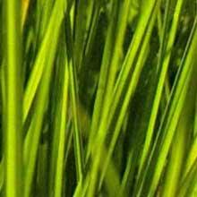 Gräser & Getreide